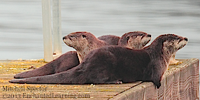 Three Otters on a Gray Winter Day