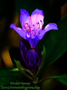 Rhododendron Flower in Spring