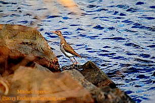 Spotted Sandpiper Rock-Hopping