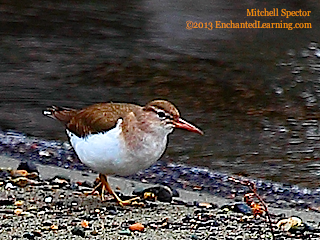 Spotted Sandpiper in Winter Plumage