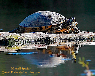 Close-up of a Red-Eared Slider and its Reflection