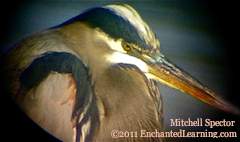 Head of a Great Blue Heron