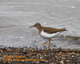 Spotted Sandpiper, Sprinting Down the Beach